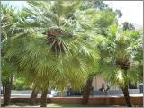 Palmen Samen