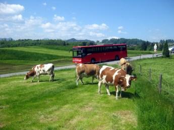 1Kuehe-Wanderbus