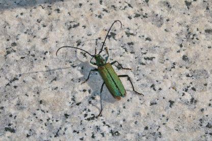 aschau käfer01