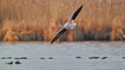 AktNatBeo-201229-ka-Chile-Flamingo-50775598141_2a6cd59963_k-1500pix