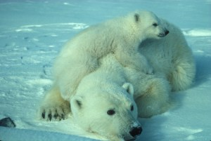 polar-bear-710165_1280