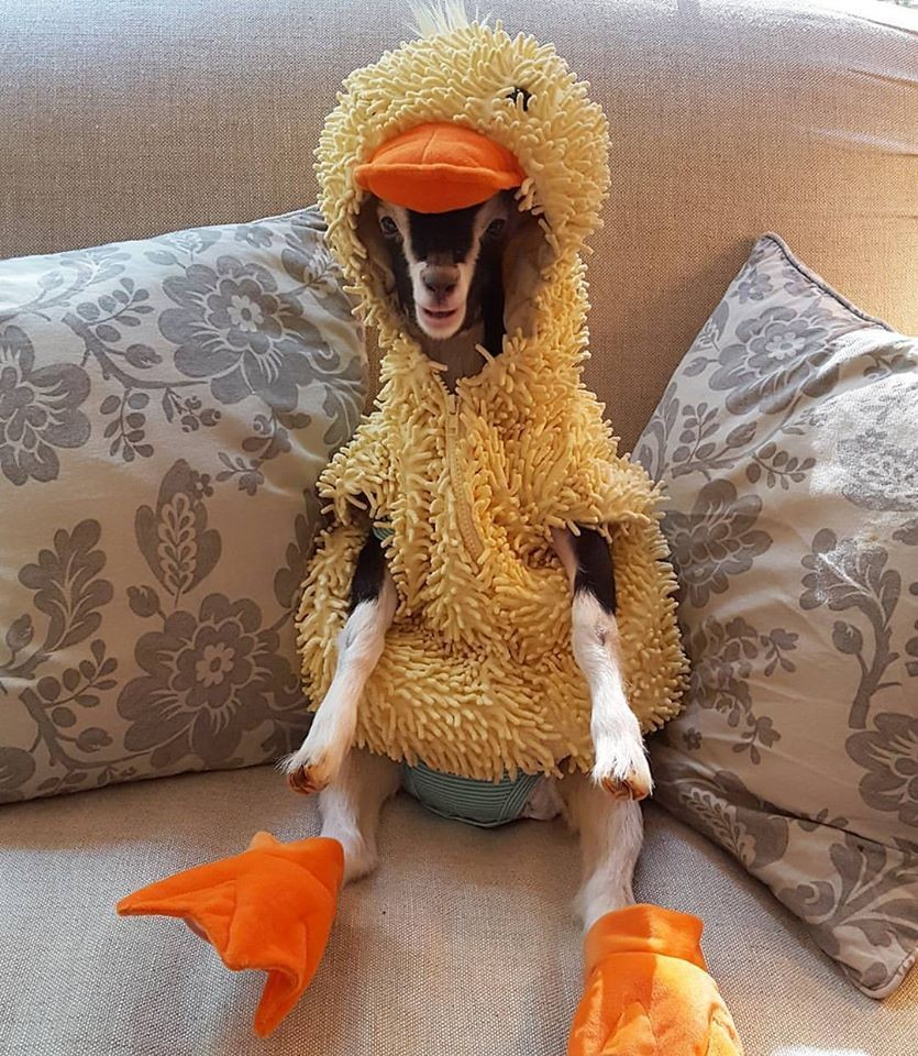 goat & Blind Baby Rescue Goat Wears Duck Costume to Ease Anxiety and Itu0027s ...
