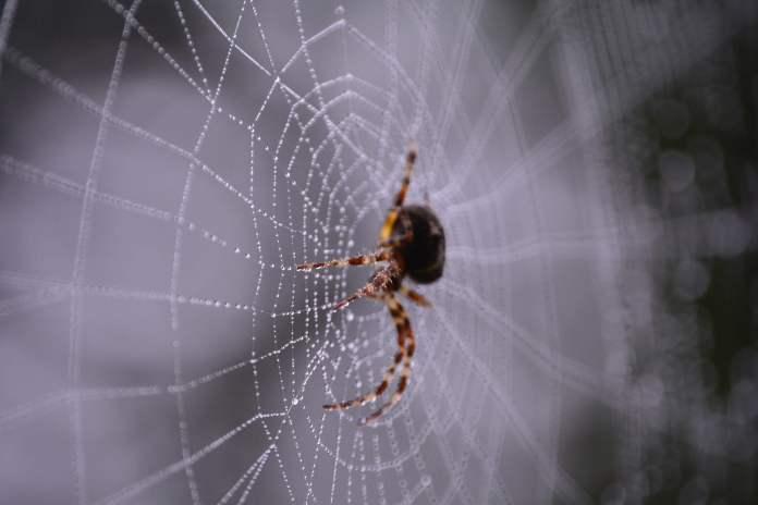 মাকড়শার জাল থেকে তৈরি হতে পারে ভবিষ্যতের বর্ম! macro photography of black and brown spider on web