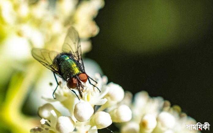মশা মারা সহজ, কিন্তু মাছি মারা এত কঠিন কেন? Fly Insect Flower Housefly Animal  - Carambole-SD / Pixabay