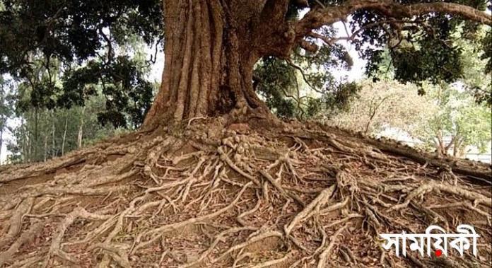 1 13 নাটোরের প্রাচীনতম অচিন বৃক্ষ সংরক্ষণে উদ্যোগ জরুরী: জুনাইদ আহমেদ পলক