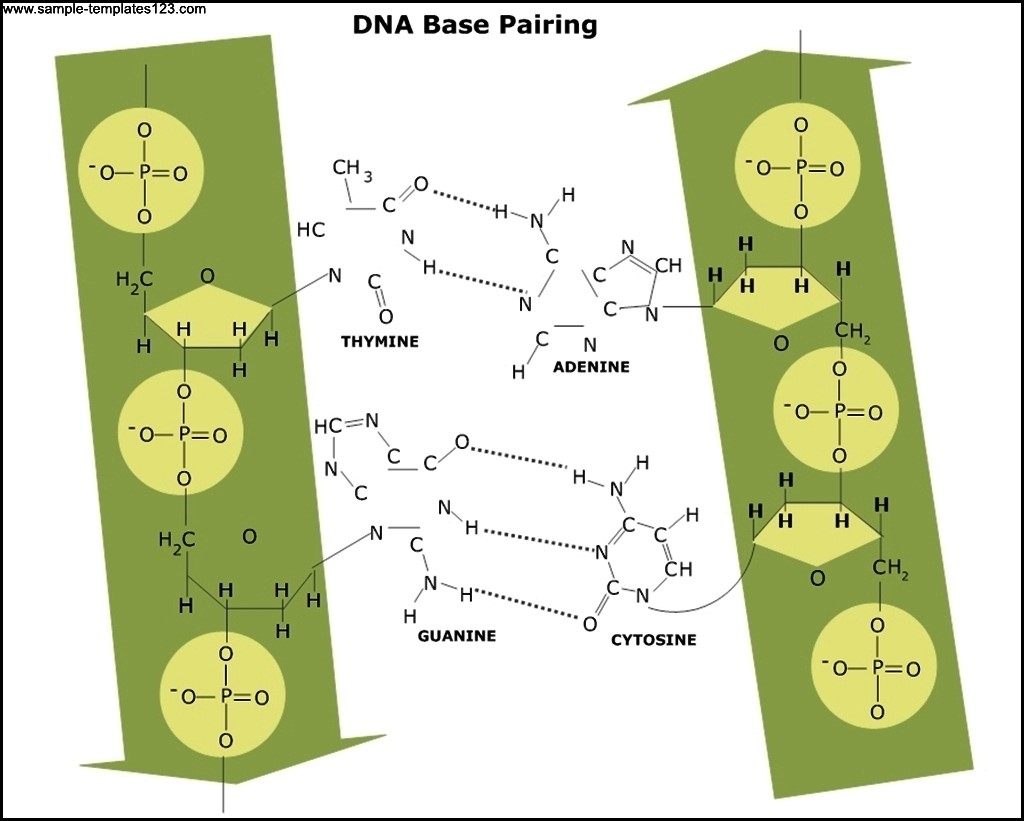 Dna Base Pairing Diagram Template