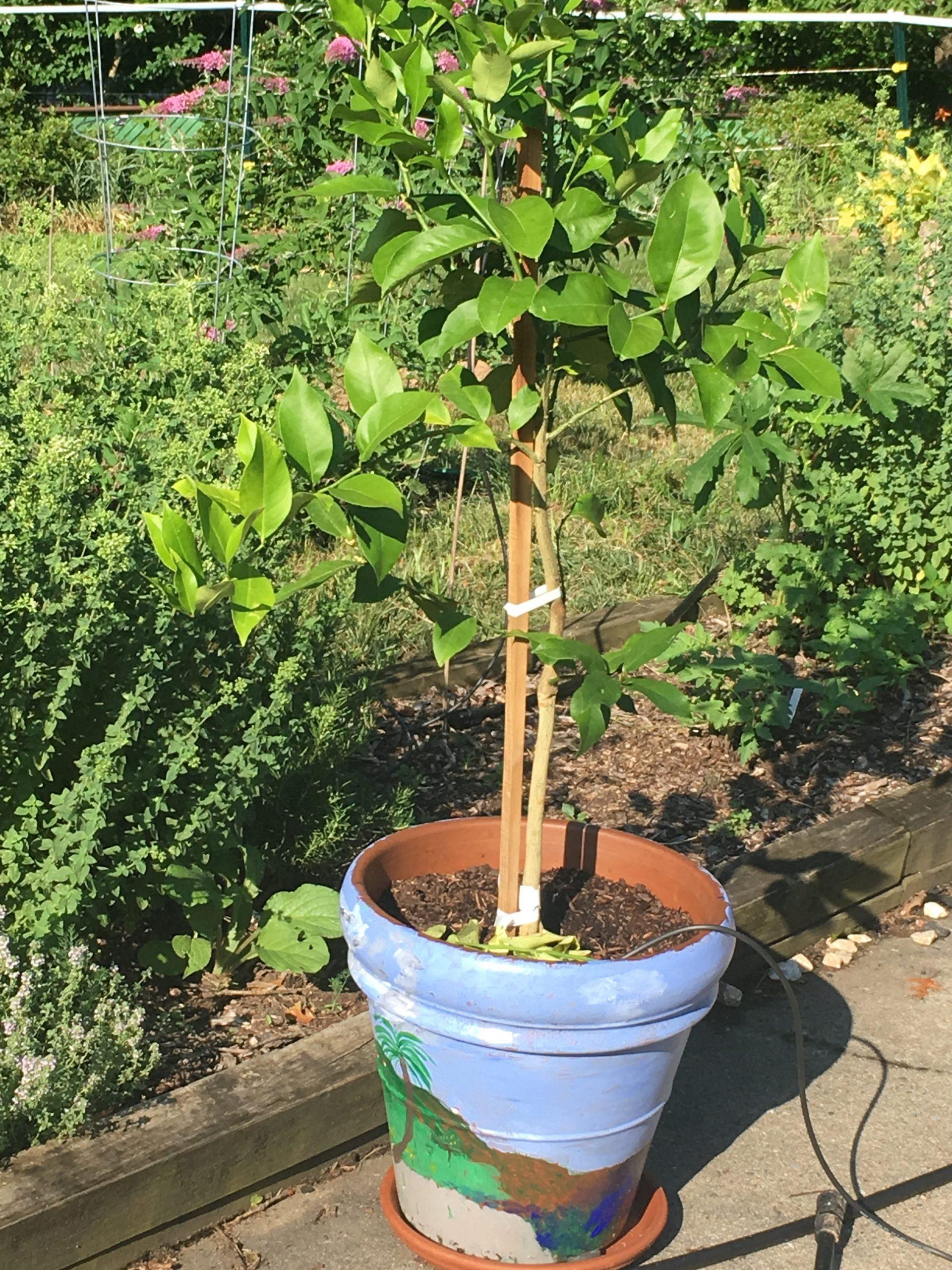 Lemon tree enjoys summer sun in front of one of 3 herb gardens