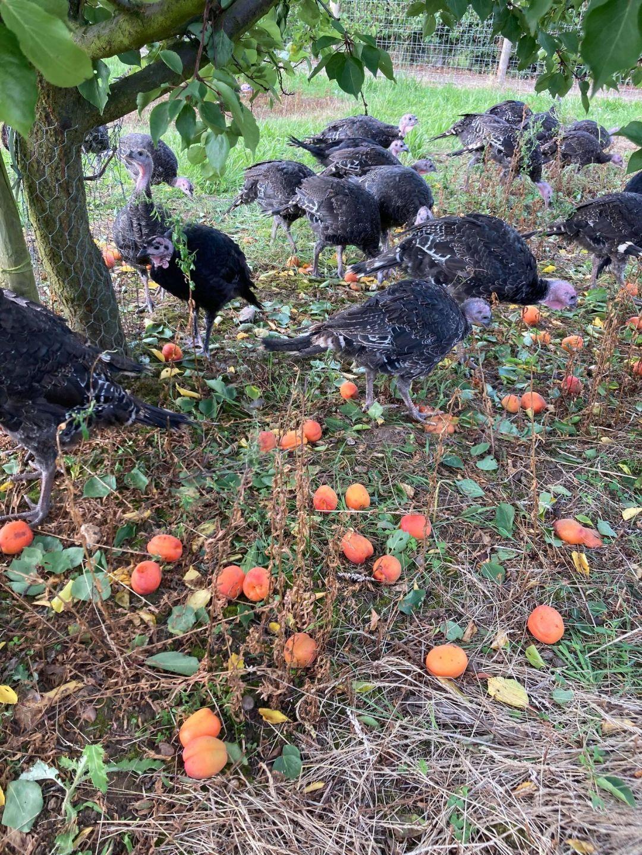 Turkeys amongst apricot trees