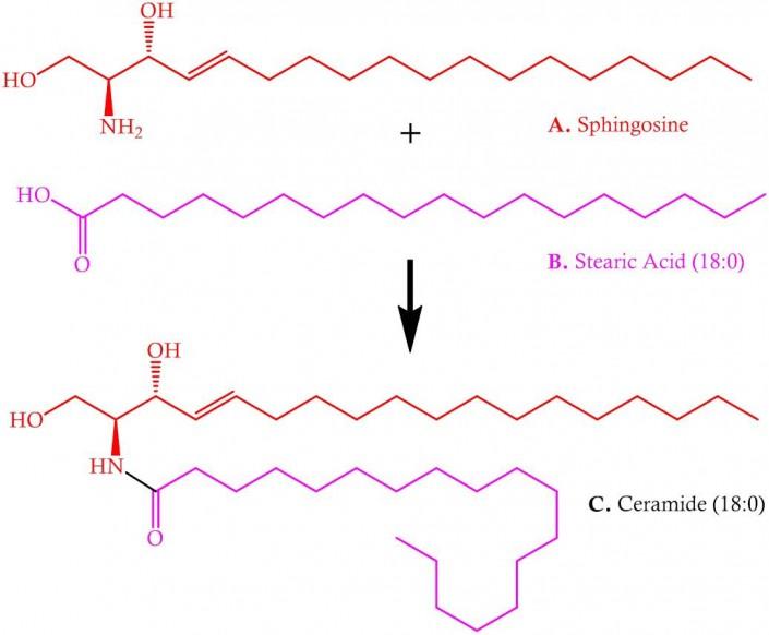Sphingosine and stearic acid = ceramide (18,0)