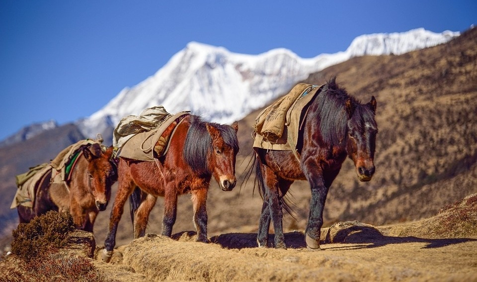 using pack animals for trekking