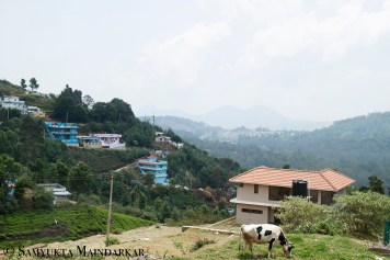 A snapshot of life in the Nilgiris: small villages, colourful houses, green forests, rolling hills, panoramic views and the occassional cow
