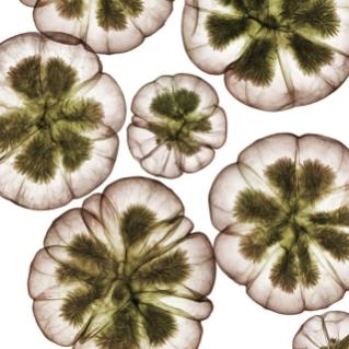 x-ray-of-flowers-nick-veasey