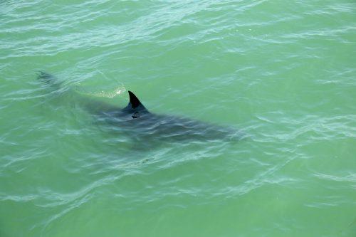 A juvenile great white shark swims near the Dana Wharf Sportfishing boat in May 2017 near Capistrano Beach. Photo: Eric Heinz