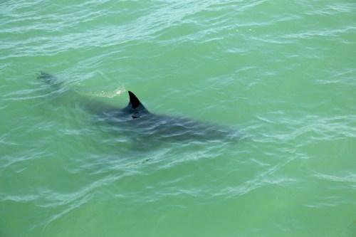 A juvenile great white shark swims near the Dana Wharf Sportfishing boat on Saturday, May 13, near Capistrano Beach. Photo: Eric Heinz