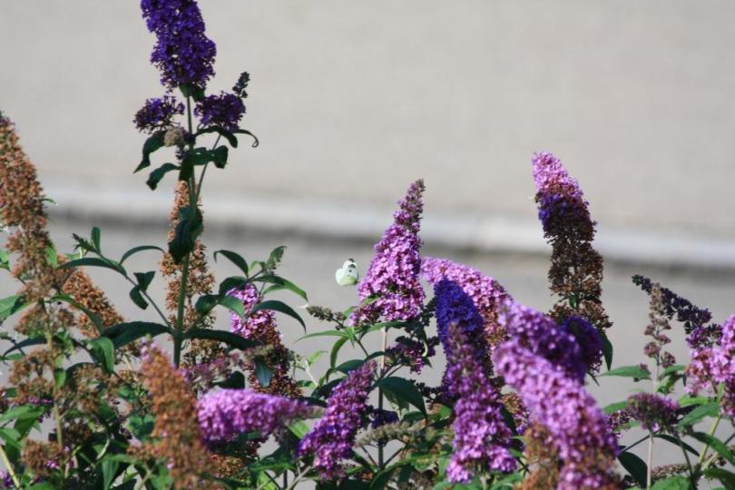 summer lilac- hope in springs eternal