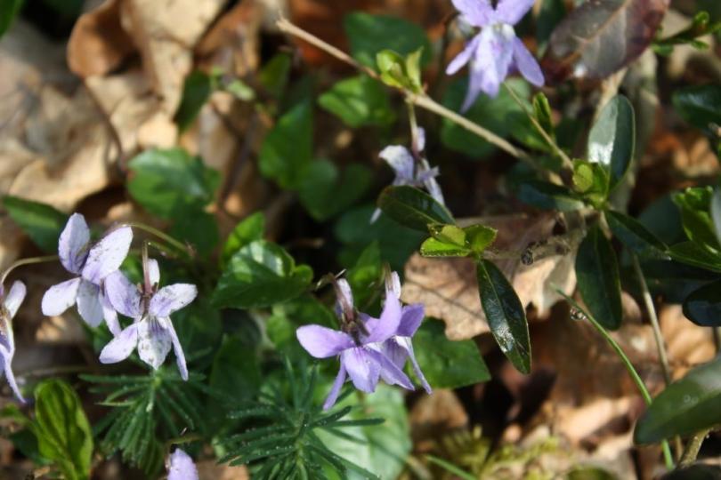 wood violets- hope in springs eternal