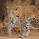project leopard