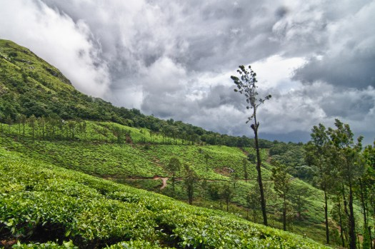 Tea estates around the Chembra peak area