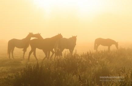 Horses in the fog