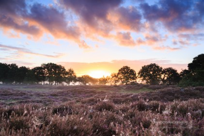 Sunrise over Dutch heath landscape with flowering heather,. Drente, the Netherlands.