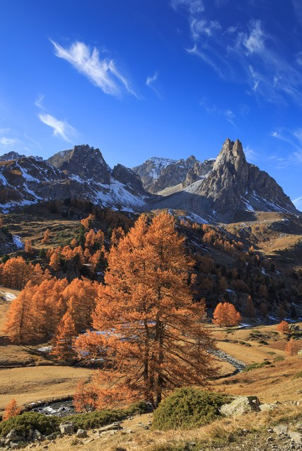 Larch trees in Vallee de la Claree during a clear day in autumn. Nevache, France.