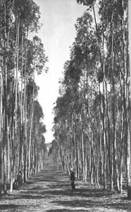 A grove of eucalyptus in Rancho Santa Fe.