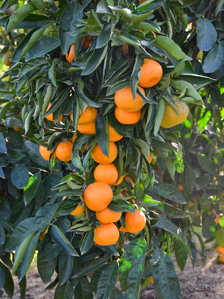 farm-fresh-mandarin-orangesg