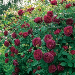 Chianti [photo: David Austin Roses]
