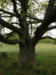oak tree on Wimbledon Common4 25-4-14