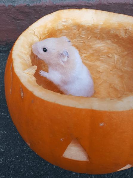 Sandra Healy Designs Calendar Quilt November Block Hamster in Pumpkin