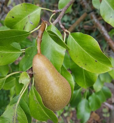 Sandra Healy Designs, 'Fall Into a Quiltalong', ripening pear on tree