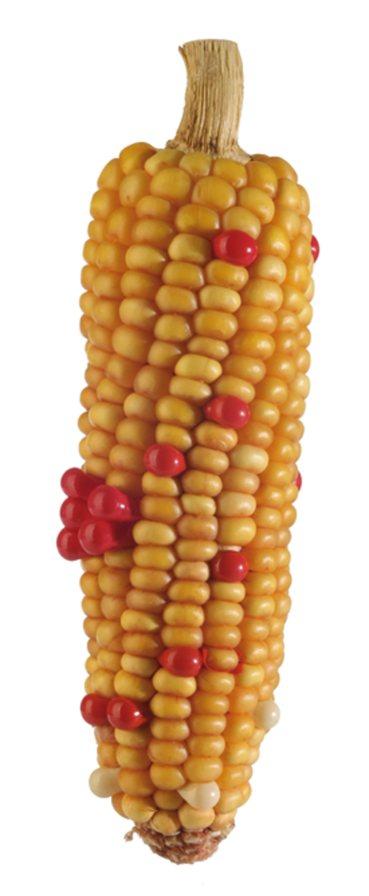 Mutation 1, 2008, H 16 cm, Ø 5 cm, maïs séché, géllules