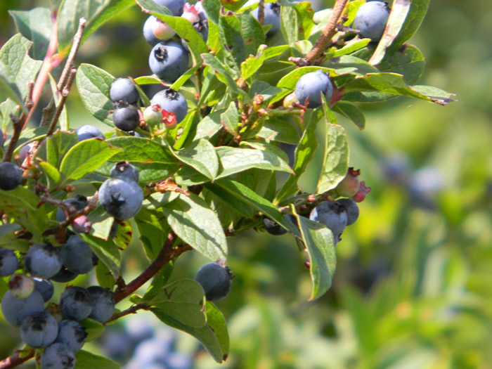 WNC Blueberries