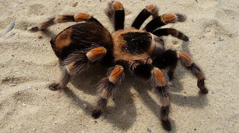 tarantula-web