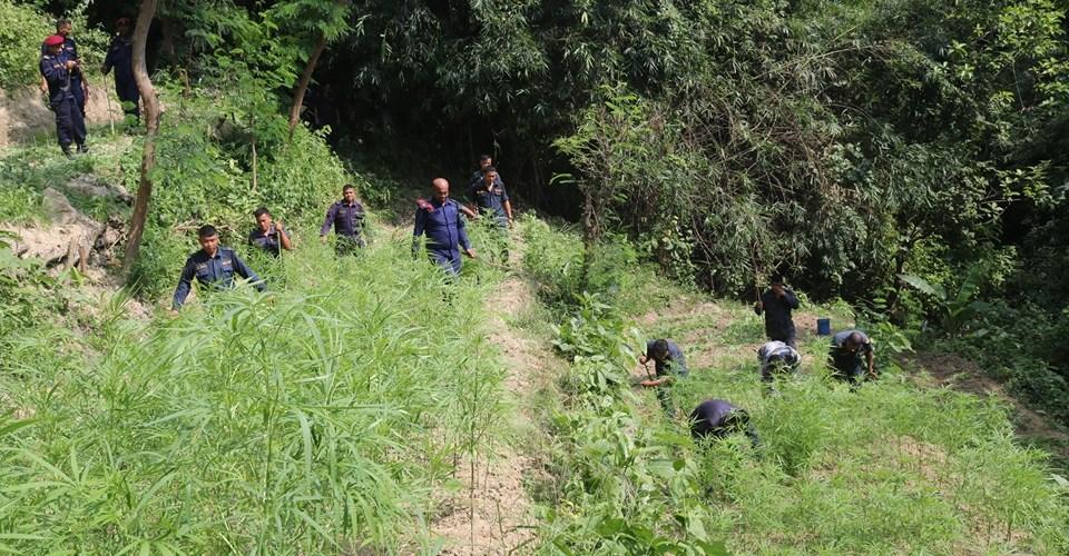 बारा प्रहरीद्धारा ७ बिगाहा क्षेत्रफलमा लगाईएको गाँजा खेती फडानी गरी नष्ट