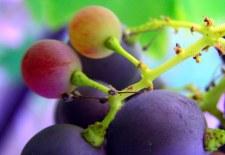 Resveratrol, un poderoso antioxidante