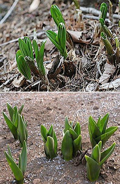ギョウジャニンニクの芽(上)とイヌサフランの芽(東京都薬用植物園提供)
