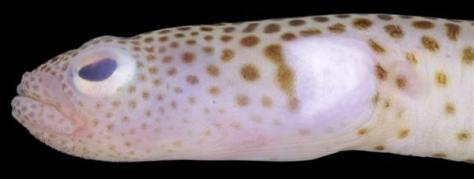 新種として発表された「ニゲミズチンアナゴ」(台湾国立海洋生物博物館の小枝圭太研究員撮影)