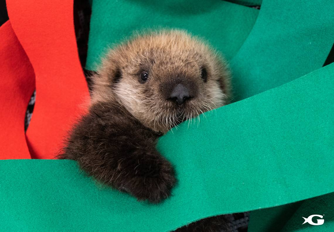 California Sea Otter Pups Rescued Get New Home At Ga Aquarium San Luis Obispo Tribune