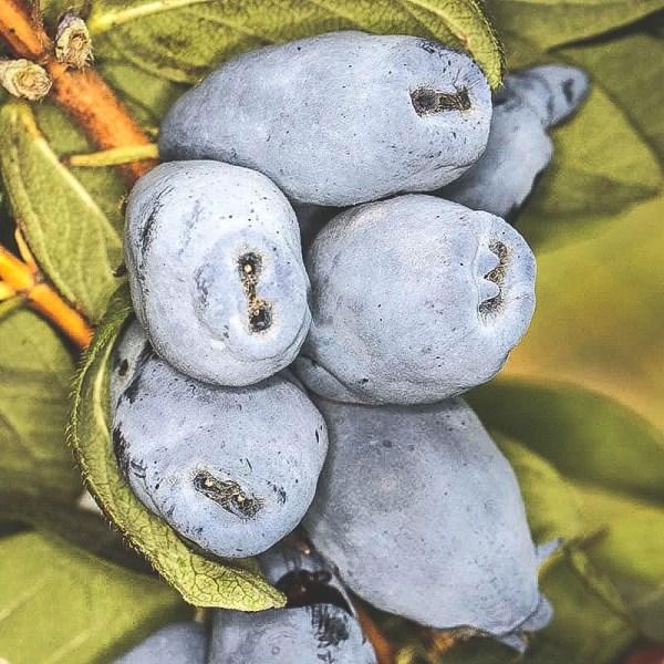 Närbild på mogna Boreal-Beast blåbärstry på buske