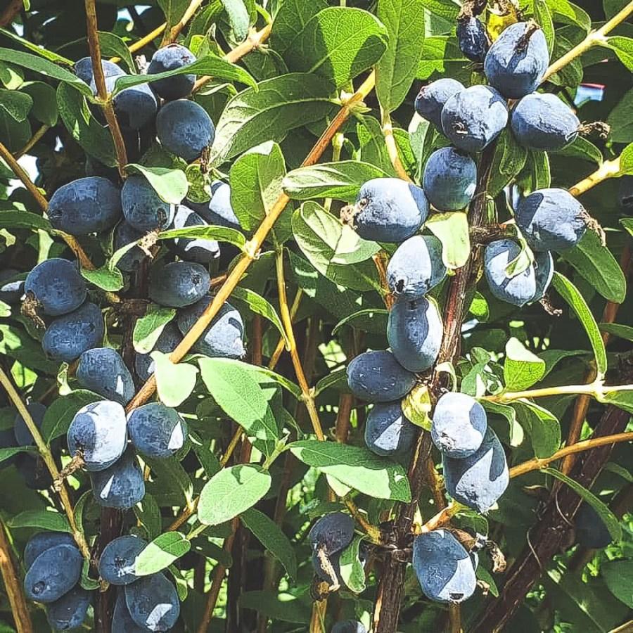 Mogna Boreal-Beauty blåbärstry på buske