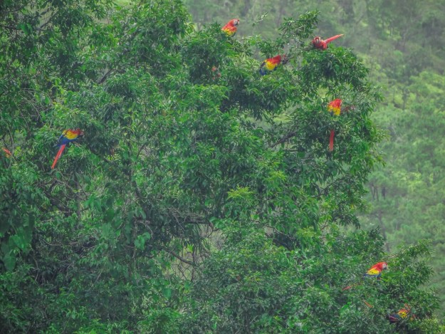 macaws in tree