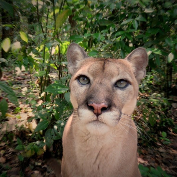 Carlos the puma at the Belize Zoo Belize Tour