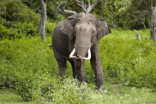 Kerala State Animal: Indian Elephant