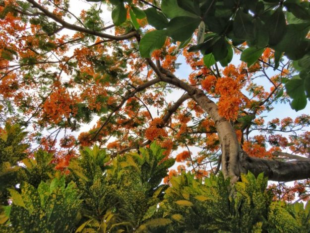 Flamboyant Tree Belize