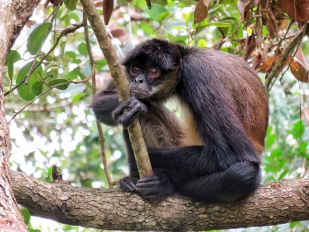 Sleeping spider monkey at the Belize Zoo