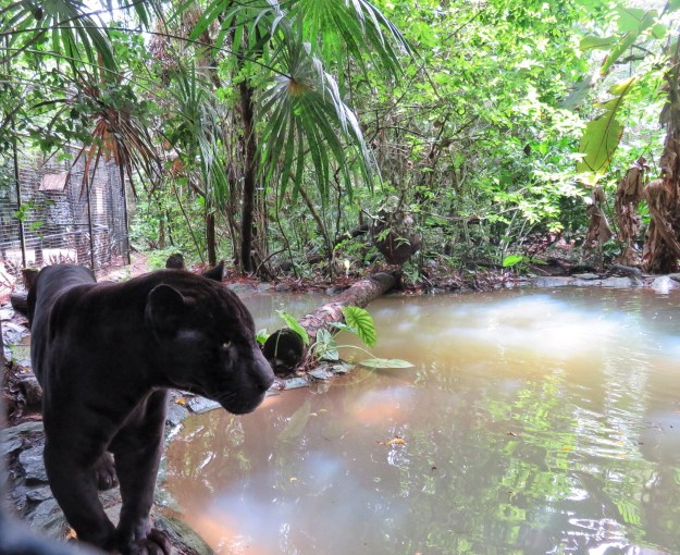 Lucky Boy, the rare black jaguar, at the Belize Zoo