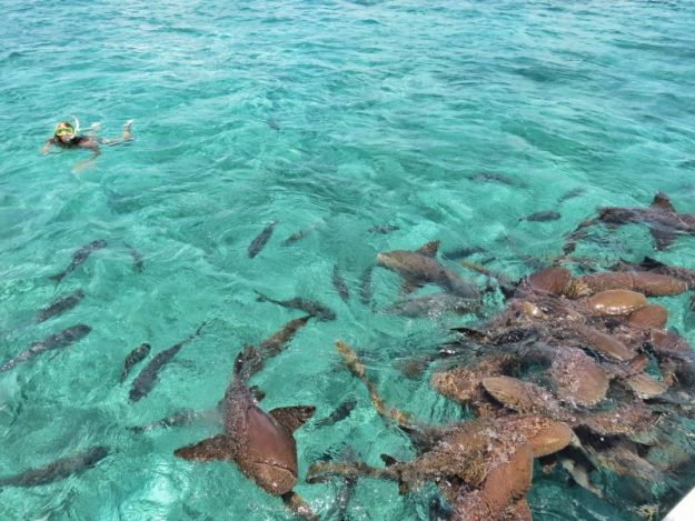 Snorkeling with sharks off Ambergris Caye Belize