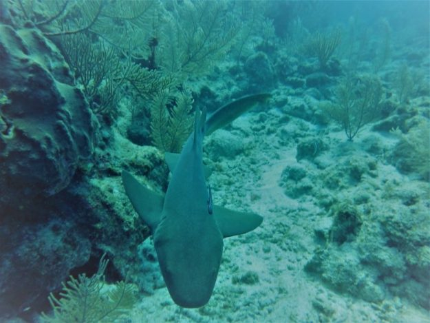 Nurse shark Underwater,, san Pedro, Belize