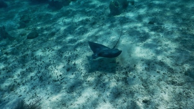 Eagle Ray at Hol Chan Marine Reserve Ambergris Caye Belize